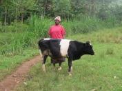 Bull as an IGA